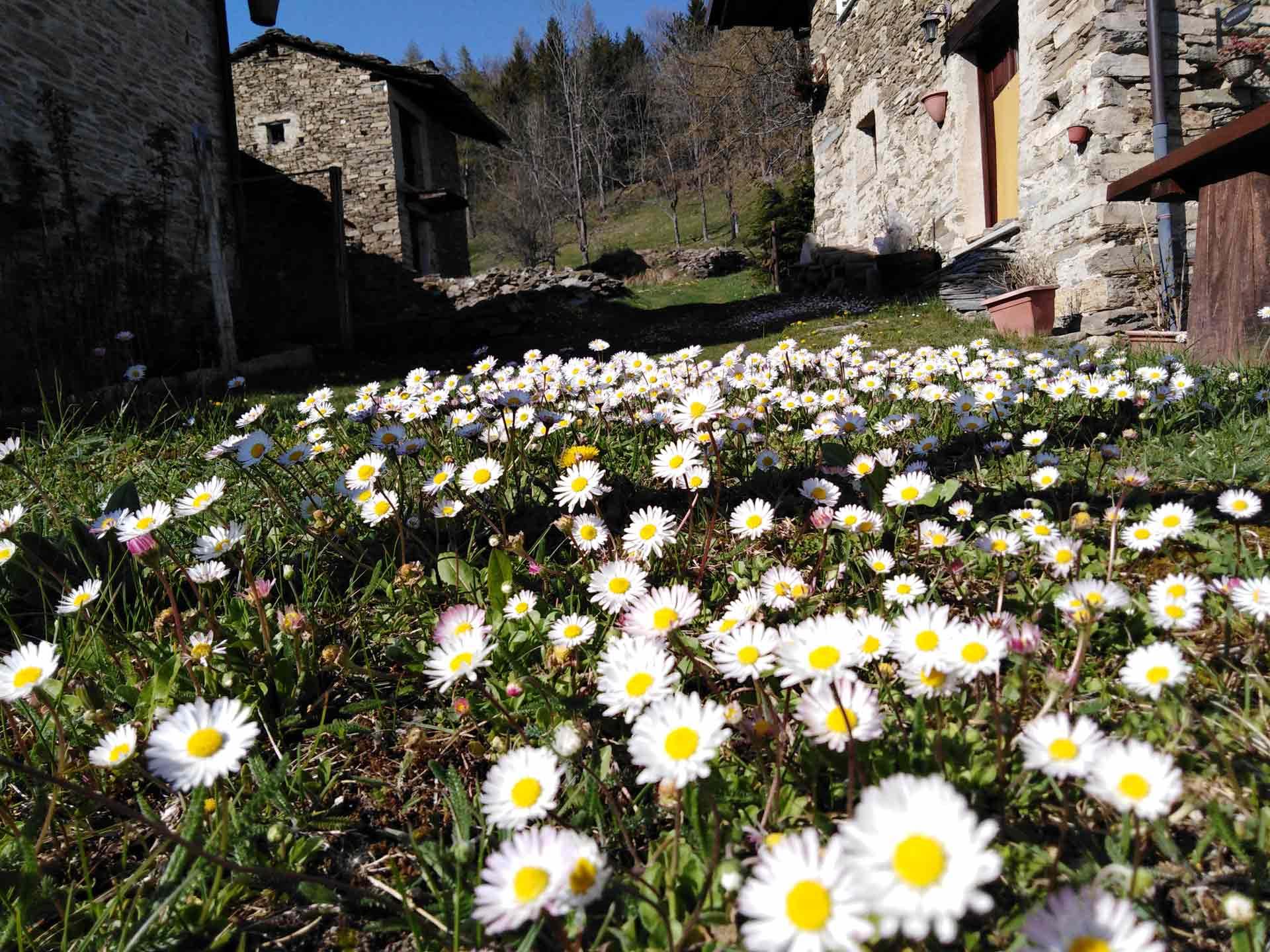 fioritura_Morelli