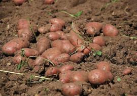 Sagra della patata rossa a Lemma