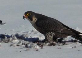 Falco pellegrino: l'animale più veloce della terra